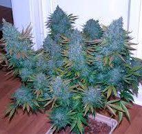 Belladonna Kush Marijuana Strain