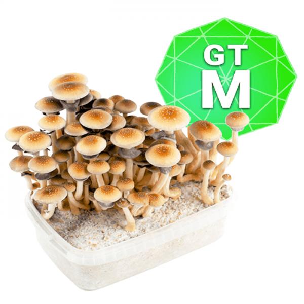 Golden Teacher Growkit - Medium online