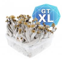 Golden Teacher Growkit - Xl
