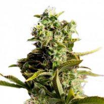 Pain killer Feminized Seeds