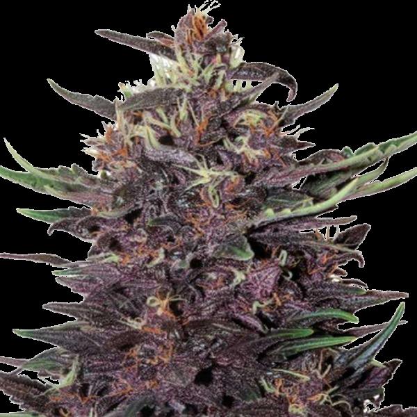 Purple Kush Feminized Seeds online