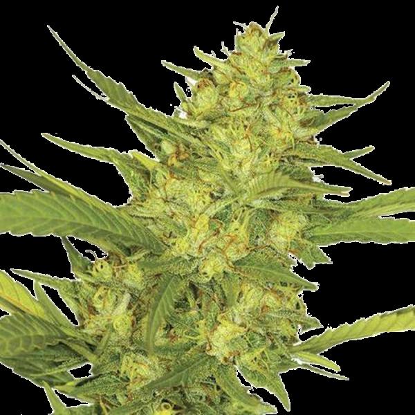 Sour Diesel Feminized Seeds online