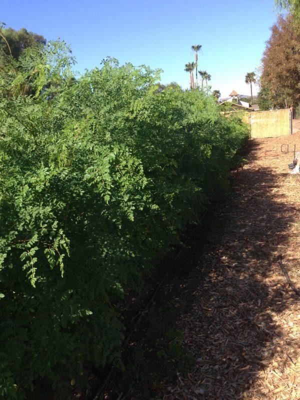 Buy Fresh Moringa Leaf online